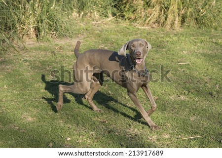 A happy excited dog, running and looking at the camera, purebred hunting female Weimaraner, also known as silvery-gray, gray ghost or silver ghost. - stock photo