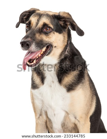 A happy German Shepherd Mixed Breed Dog sitting with side to the camera. Mouth is open and tongue is hanging out.