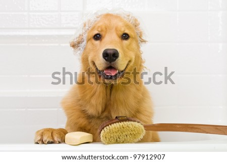 A happy Golden Retriever dog ready to take a bath in the tub.  He is wearing a shower cap and has a scrub brush and bar of soap ready to use.