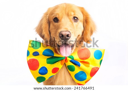 A happy golden retriever dog wearing a colorful polka dot clown tie - stock photo
