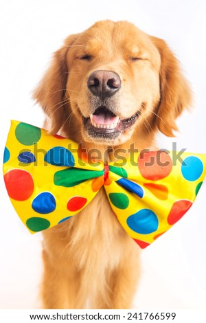 A happy golden retriever dog wearing a colorful polka dot clown tie