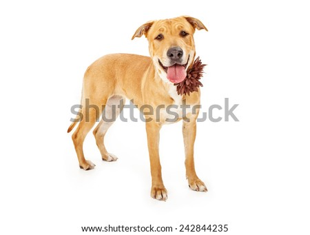 A happy Labrador Retriever dog against a white backdrop wearing a brown flower collar - stock photo