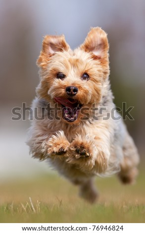 A happy Yorkshire terrier running at the camera, shallow depth of field with focus on the face - stock photo