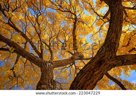 A hardwood tree in full Autumn color - stock photo