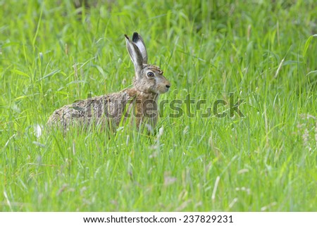 A Hare in a meadow. - stock photo