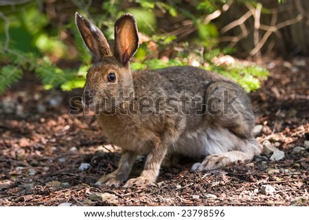 A hare sitting on the forest floor looking at the camera - stock photo