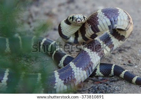 A harmless California kingsnake in a defensive posture.  - stock photo