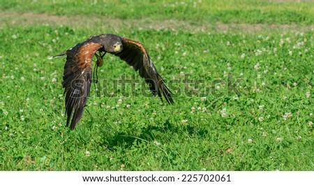 A Harris Hawk in flight - stock photo