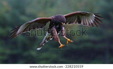 A Harris's Hawk (Parabuteo unicinctus) with talons armed for a strike.  - stock photo