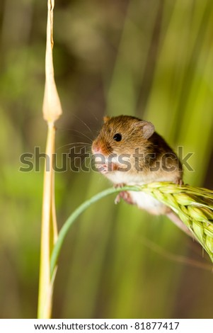 A harvest mouse clambering through a wheat field before harvest time