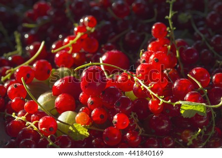 A harvest of red currant berries under the sun - stock photo