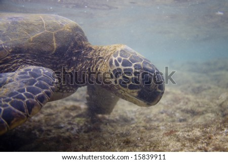 A Hawaiian green sea turtle (known as 'honu' in Hawaii) grazing on a coral reef.  The turtle is an endangered species.