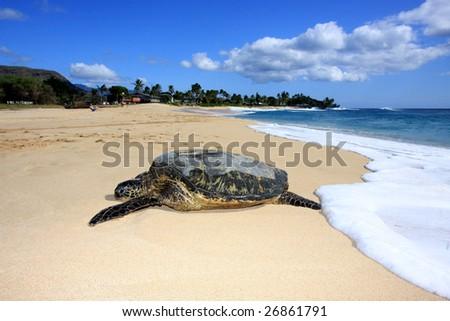 a Hawaiian Green Sea Turtle rests on the beach - stock photo