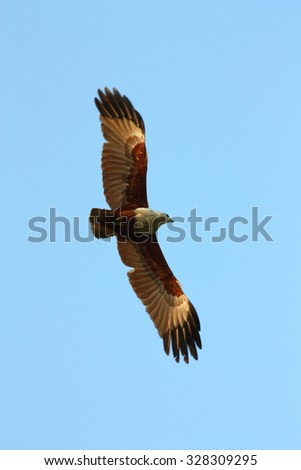 A hawk is flying in the sky. - stock photo