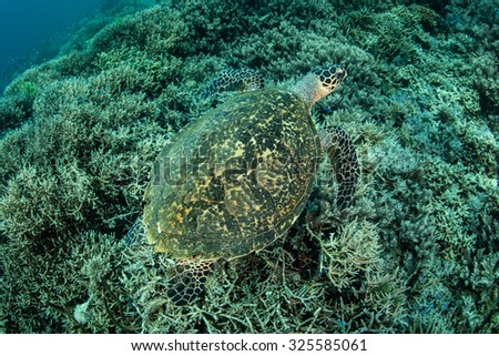 A Hawksbill sea turtle (Eretmochelys imbricata) swims over a coral reef slope in Komodo National Park. This endangered reptile is found worldwide near tropical reefs. - stock photo