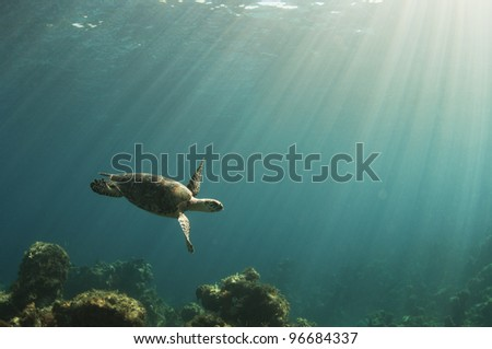 A hawksbill sea turtle swims over a coral reef in the Bahamas as the sun beams down - stock photo