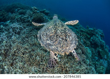 A Hawksbill turtle (Eretmochelys imbricata) cruises above a coral reef in the tropical western Pacific. This species is critically endangered but is still hunted in many areas of the world. - stock photo