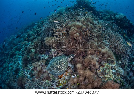 A Hawksbill turtle (Eretmochelys imbricata) feeds on a coral reef in the tropical western Pacific. This species is critically endangered but is still hunted in many areas of the world. - stock photo