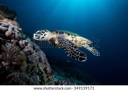 A hawksbill Turtle - Eretmochelys Imbricata - feeds on the reef. Taken in Komodo National Park, Indonesia.