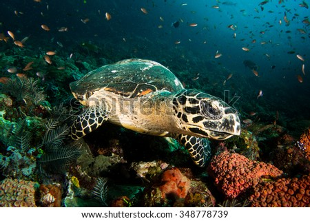 A Hawksbill Turtle - Eretmochelys imbricata - rests on a busy reef. Taken in Komodo National Park, Indonesia.