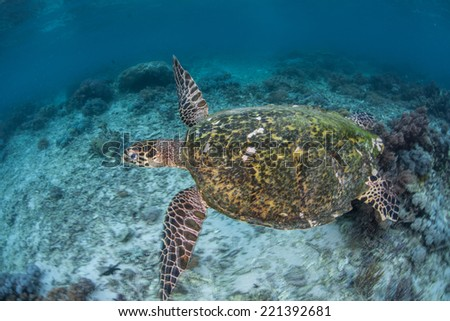 A Hawksbill turtle (Eretmochelys imbricata) swims within the waters of Komodo National Park. This endangered species nests on protected beaches within the park. - stock photo