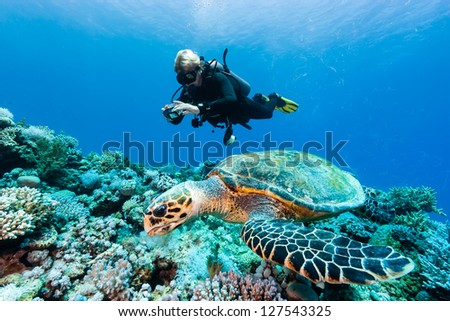 A Hawksbill turtle feeding on a coral reef whilst a SCUBA diver takes photographs