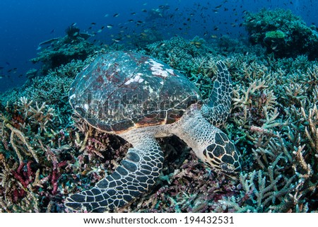A Hawksbill turtle feeds on sponges on a coral reef near Komodo National Park in Indonesia. This is an endangered species but common to particular parts of the Coral Triangle. - stock photo
