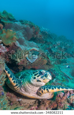 A hawksbill turtle posing on a coral reef in clear water - stock photo