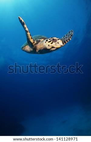 A hawksbill turtle swimming high above the reef - Akumal, Riviera Maya - Mexico - stock photo
