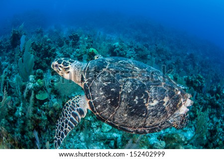 A Hawksbill turtle swims above a coral reef off the island of Grand Cayman in the Caribbean Sea.  This species is endangered according to the IUCN. - stock photo