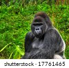 A HDR close up image of a male silverback gorilla in a sitting pose - stock photo