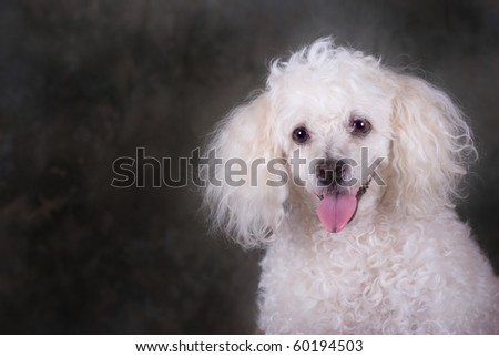 A head and shoulders portrait of a miniature poodle. - stock photo