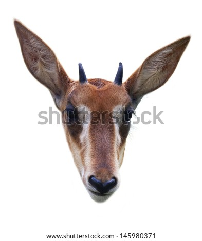 A head of a young black antelope. A face portrait of Hippotragus niger, isolated on white background. - stock photo