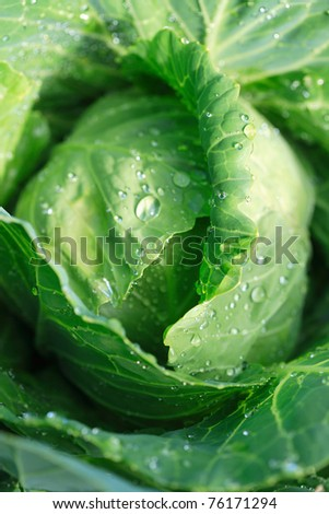 A head of green cabbage growing in the field, ready for harvest - stock photo