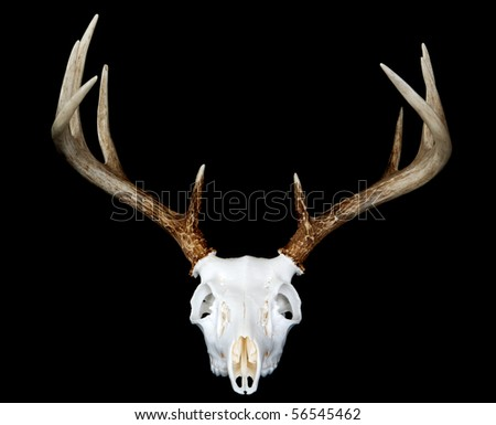 A head on view of a european deer mount - stock photo