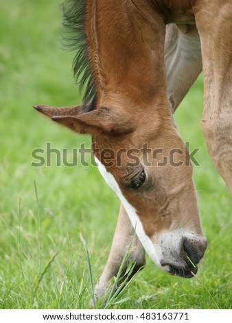 A head shot of a bay foal trying to eat grass.