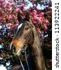 A head shot of a bay horse in a bridle against tree blossom - stock photo