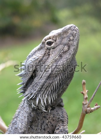 A head shot of a Bearded Dragon from Australia. - stock photo