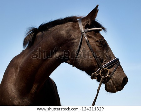 A head shot of a black horse with a bridle - stock photo