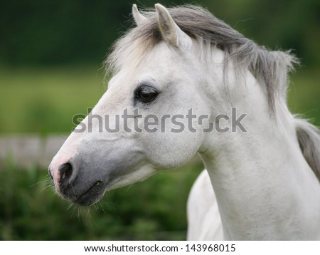 A head shot of a grey Welsh stallion without tack.