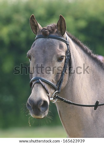 A head shot of a horse in a bridle at a competition.