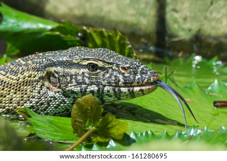 A head- shot of a Nile Monitor Lizard (Varanus niloticus) sticking out its tongue amongst lilly pads - stock photo