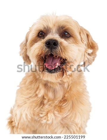 A head shot of a very attentive Maltese and Poodle Mix Dog.  - stock photo