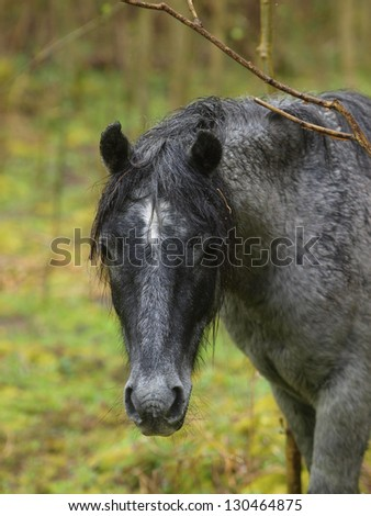 A head shot of a wild New Forest pony in a forest in the rain.