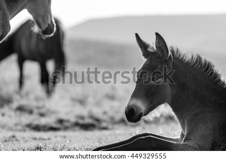A head shot of a young horse resting on the grass, free in the wild. Black and white photo made in a mountain range in central Bulgaria. - stock photo