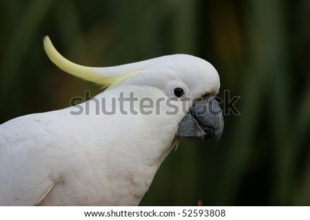 A head shot of an Australian Sulphur Crested Cockatoo eating - stock photo