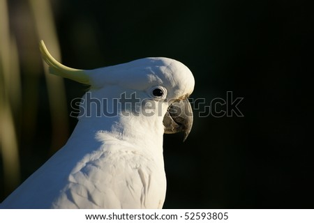 A head shot of an Australian Sulphur Crested Cockatoo resting - stock photo