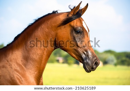 a head shot or portrait of an arabian filly or horse with blue sky and clouds in the background - stock photo