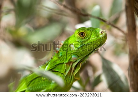 A headshot of a baby Green Iguana sitting in a bush. Photographed with a shallow depth of field.