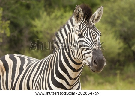 A Headshot of a Burchell's Zebra (Similar to the 'Plains Zebra') Standing in its Natural Habitat during the Summer in the Kruger National Park in South Africa. - stock photo